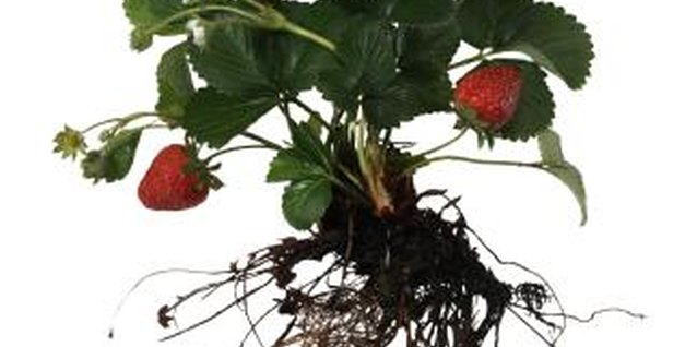 How to Grow Strawberries in Concrete Blocks