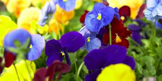Life Cycle of a Pansy