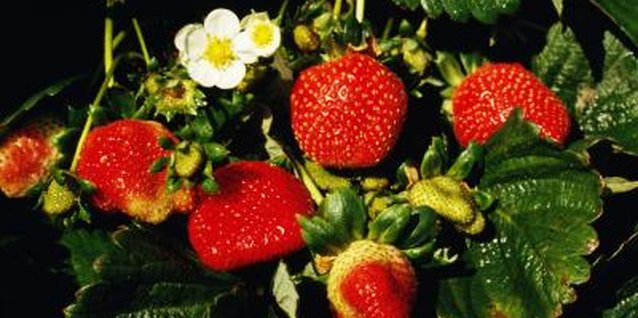 Strawberries, nature's candy, can be grown in hay bales.