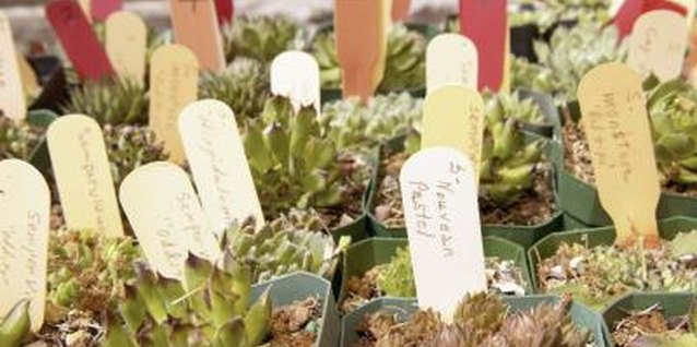 There are over 1,000 Sempervivum cultivars to choose from.