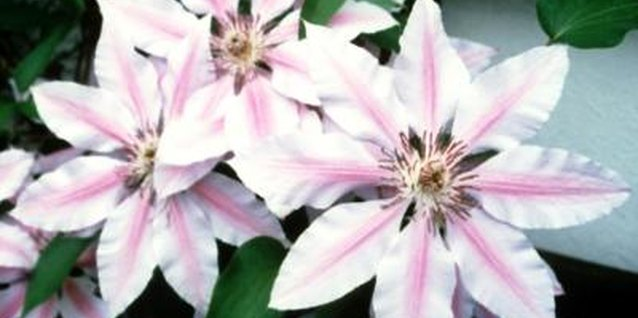 How to Propagate Clematis Vines