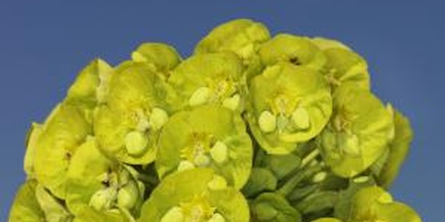 Many types of euphorbia produce interesting, colorful blooms.