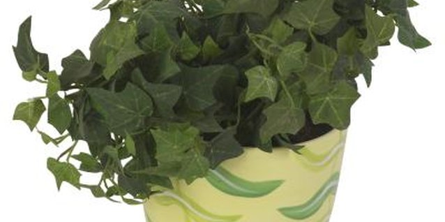 How to Transplant a Pot Bound Ivy