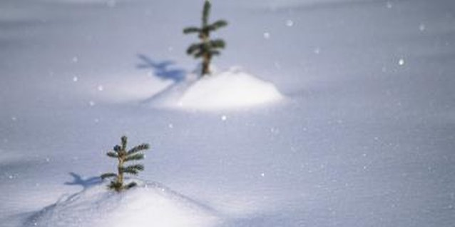 Young, small pines often grow in the snow at Christmas tree farms.