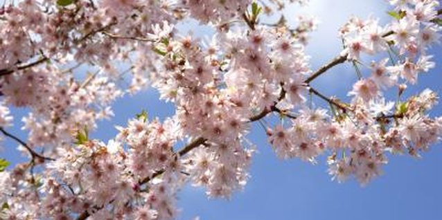 Ornamental cherry trees thrive in full sun.