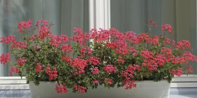 Miniature Plants for Windowsills