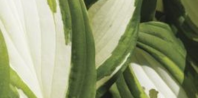 Hosta foliage colors range from single to multicolored green, blue-green and white.