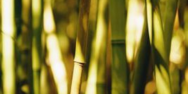 Bamboo, among the world's fastest growing plants, quickly fills in a space.