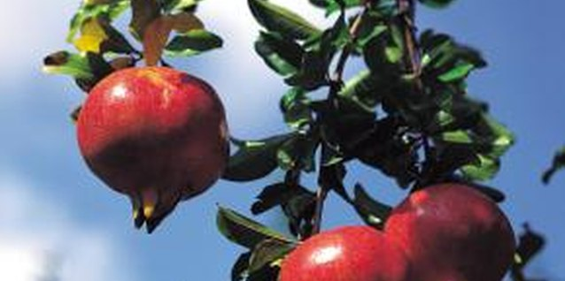 Pomegranate trees lure several species of voracious, sap-consuming pests.