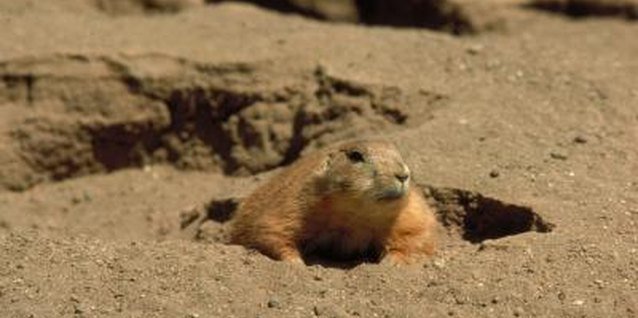 If the groundhog sees his shadow, there will be six more weeks of winter.