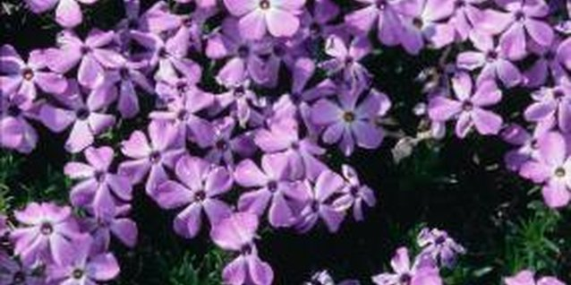 Creeping phlox looks lovely in containers.