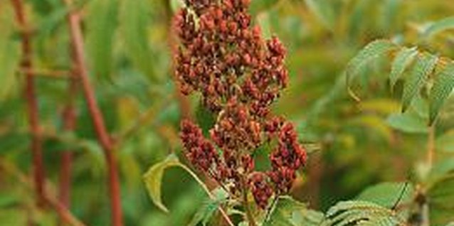 How to Grow Sumac From Seed