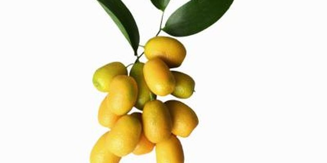 Is There a Dwarf Kumquat Tree?