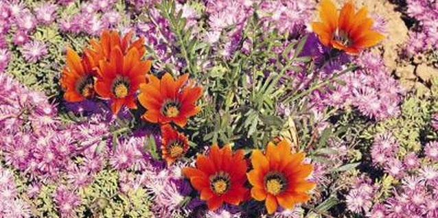 Gazanias do best in soil that drains well.