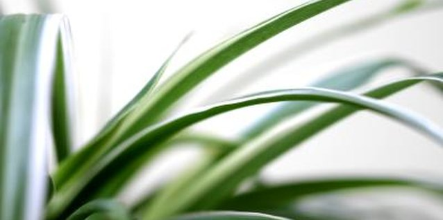 Spider plants will grow in low light, but then will produce few, if any, babies.