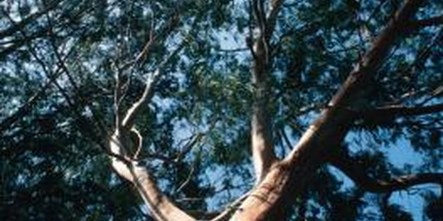 Plants to Plant Under a Gum Tree