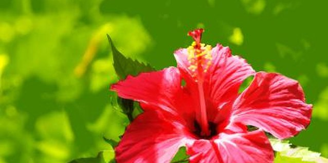 How to Cover a Hibiscus