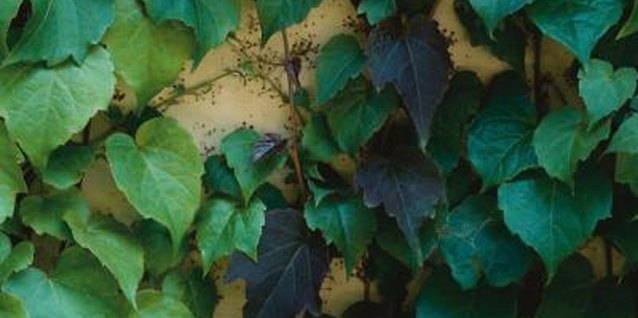 Ivy grows quickly and can suffocate desirable plants.