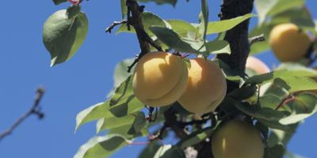 Apricots are delicious fresh, canned or dried, and in pies, cakes or cobblers.
