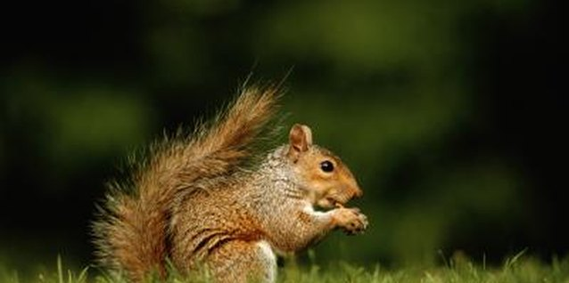 Once they've developed a taste for tomatoes, squirrels can be difficult to dissuade.