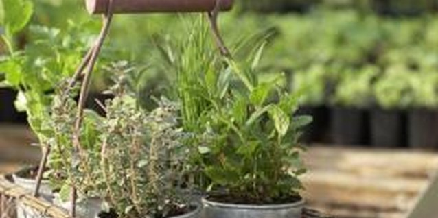 Grow a collection of herbs in small planters indoors.
