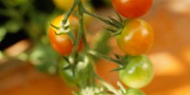 Staking tomato plants reduces risk of infection from soil-borne pathogens.