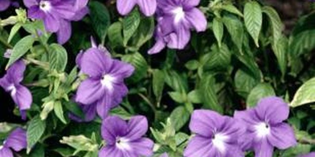 Vinca is an adequate groundcover.