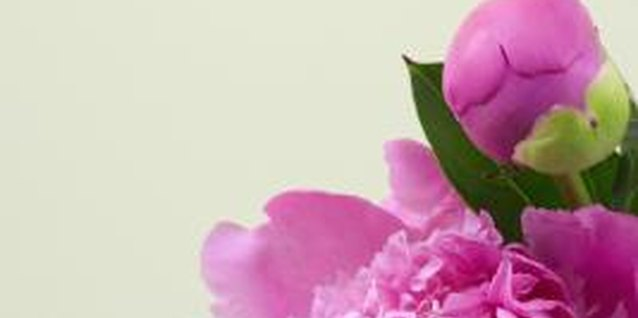 Are Rhododendrons Compatible With Peonies?
