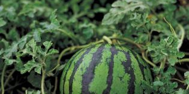 Vines that produce watermelons need certain conditions.