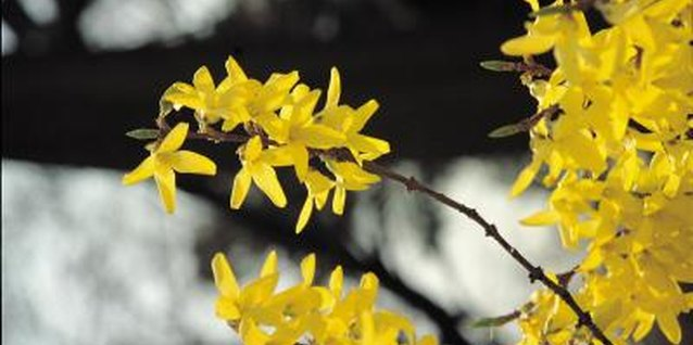 Prune off forsythia branches that have galls on them to prevent disease spread.