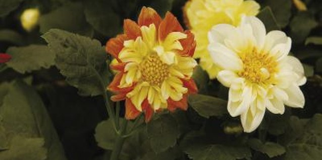 Dahlias produce showy orange, pink, purple, red, white or yellow flowers all summer long.