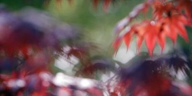 """Why Is a Japanese Maple """"Bloodgood"""" Losing Its Leaves?"""