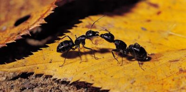 How to Kill Black Ants in a Ground Nest in a Yard