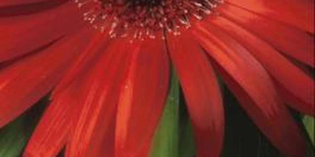Gerbera daisies can grow as annuals or perennials.