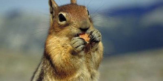 Hot pepper spray can keep squirrels out of the garden.
