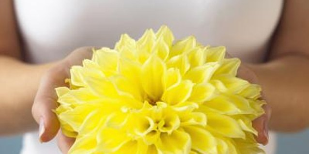 Dahlias come in a wide variety of colors, including yellow, red and white.