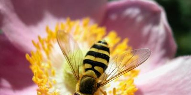 Does Pyrethrum Kill Bees?