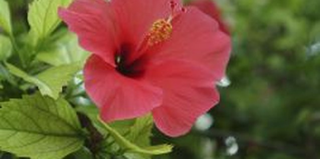 Hibiscus grows back to its mature height from the ground each year.