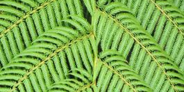 When caterpillars are feasting on your Boston ferns, there are usually holes the edge and in the center of the plant's leaves.
