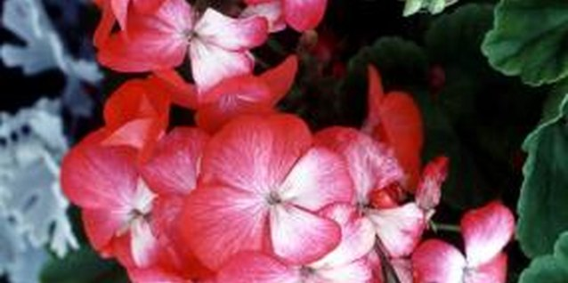 Geraniums are colorful and easy to care for indoors and out.