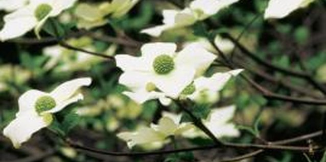 How to Plant a Kousa Dogwood