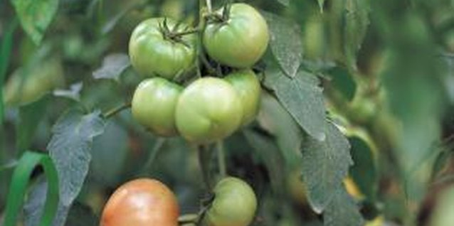 How to Identify Corn Worms on Tomatoes