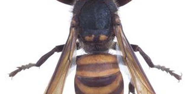 One type of ground wasp is a yellow jacket.