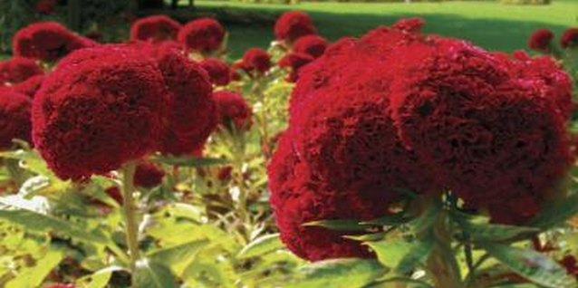 Amish cockscomb grows easily and is typically free of pests and disease.