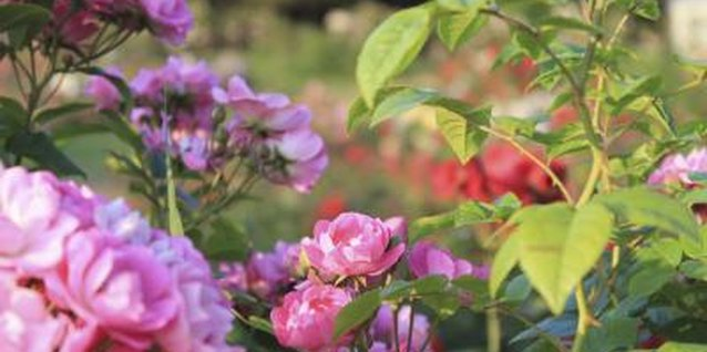 How to Move Rosebushes Temporarily