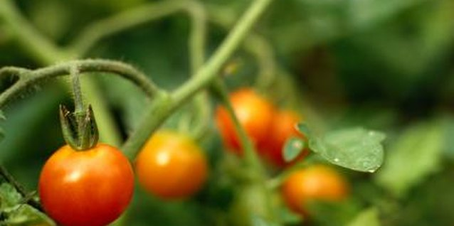 How Often Should You Fertilize Tomato Plants?