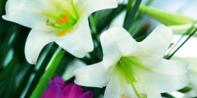 Easter lilies must be forced to bloom at Easter time.