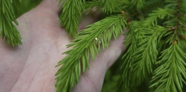 Needles on a transplanted spruce should stay green.