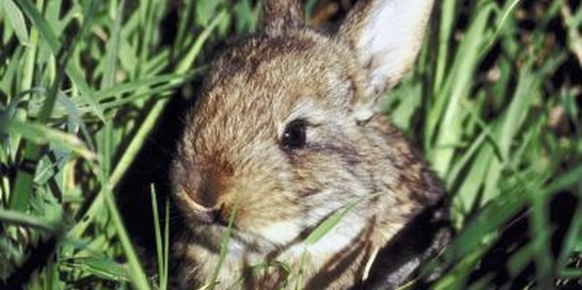 Rabbits are active year-round.