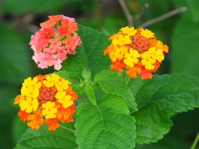 Colorful Lantana